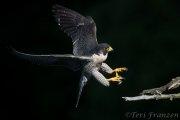Peregrine Falcon Low Key 2017