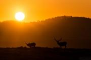 Point Reyes sunrise with Tule Elk