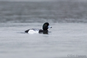Greater Scaup in Tomales Bay