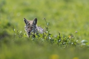 Point Reyes Coyote