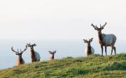 Tule Elk just after sunrise