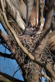 Nesting Great-horned Owl