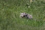 Point Reyes Badger