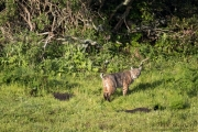 Point Reyes Bobcat