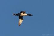 Common Loon in Flight - B14I0327