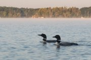 Common Loon Mated Pair - B14I0689