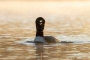Common Loon at Sunrise - B14I0873