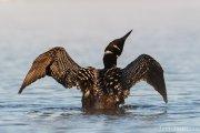 Common Loon at Sunrise - B14I1109