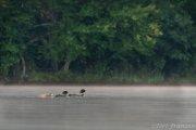 Common Loon Family - B14I1382