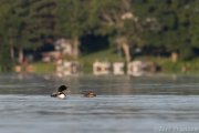 Common Loon Mother and Chick - B14I1584