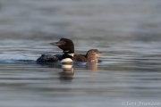Common Loon Mother and Chick - B14I1622