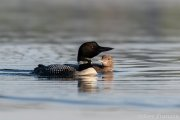 Common Loon Mother and Chick - B14I1634