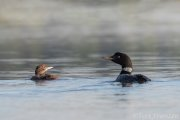 Common Loon Mother and Chick - B14I1649