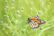 Monarch in the Waning Days of its life - B14I9834
