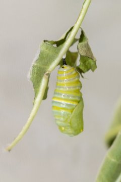 Newly Formed Pupa