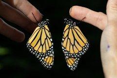Monarch Duo