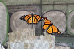 Monarchs on the House