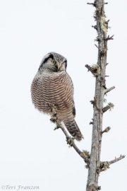 Northern Hawk Owl of Sax-Zim Bog