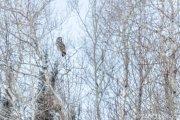 Great Gray Owl of Sax-Zim Bog