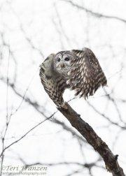 Barred Owl of Sax-Zim Bog