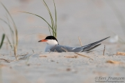 Nesting Common Tern