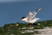 Morning Light on a Common Tern