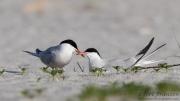 Nesting Common Terns