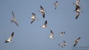 Common Terns and Black Skimmers