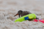 Shy Young American Oystercatcher