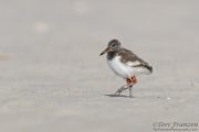 Young American Oystercatcher
