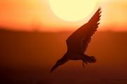 Black Skimmer at Sunset