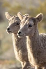 Bighorn Lambs