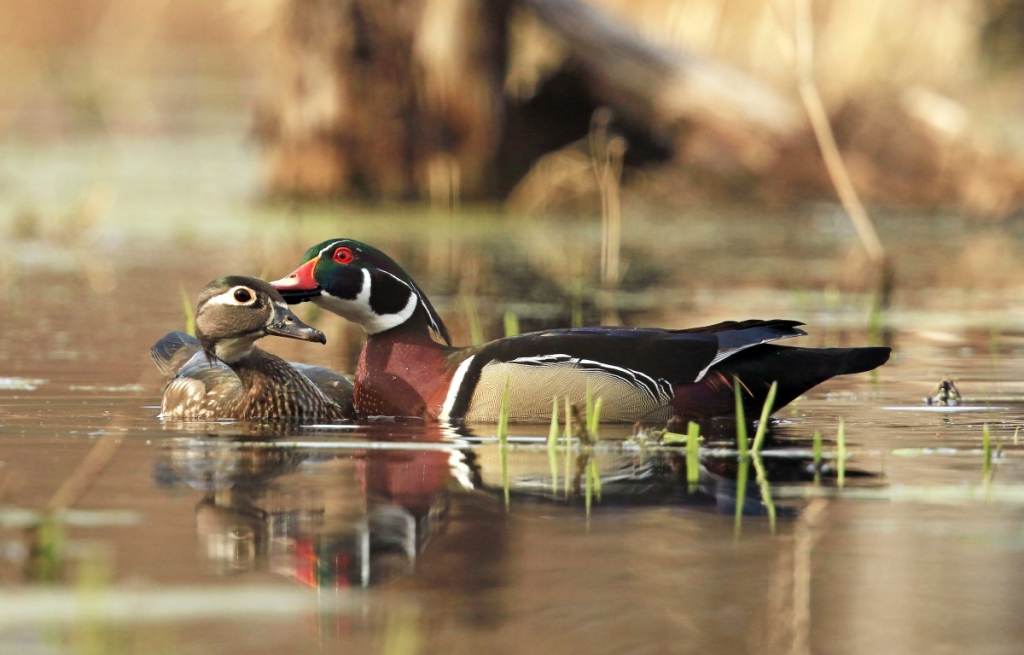 Courtship on the Pond