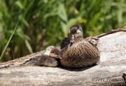 Wood Duck/Hooded Merganser