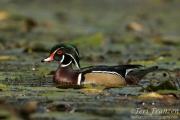 Autumn Drake Wood Duck
