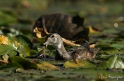 Wood Duck with a Frog (3)