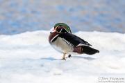 Drake Wood Duck on Ice