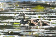 Hen wood duck and her small one-day-old brood 2019