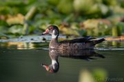 Late summer drake wood duck 2019