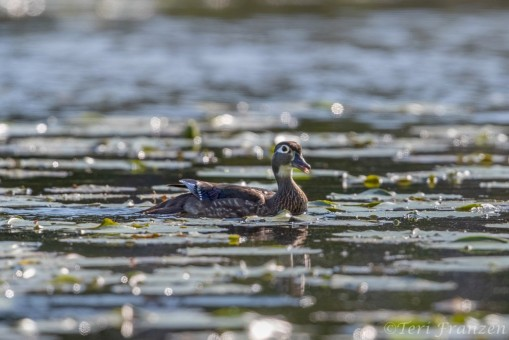 Hen wood duck calling to her brood