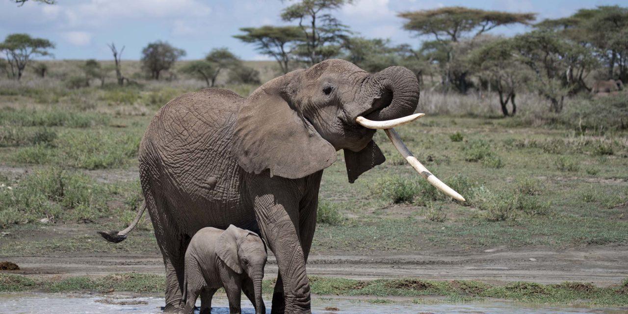 Tiny Elephant of Ndutu (Video)
